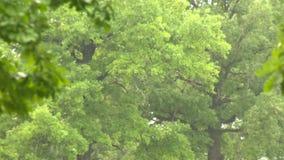 Regen in der Waldeiche stock footage