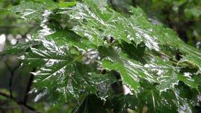 Regen die op de bladeren van de boom druipen stock video