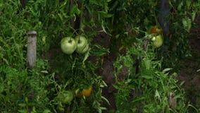Regen die op onrijpe tomaten op de wijnstok in tuin vallen stock videobeelden