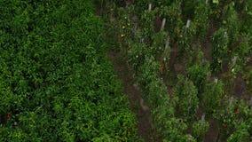 Regen die op tomaten en peper op wijnstok in tuin vallen stock videobeelden