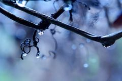 Regen in einem Weinberg Stockbilder