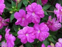 Regen getränkte purpurrote Impatiens-Blumen stockbild