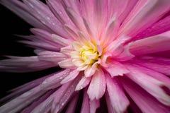 Regen getränkte rosa Blume verzerrte mit schwarzem backg Stockfotografie