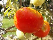 Regen küsste rotes Tomatoe Lizenzfreie Stockfotos
