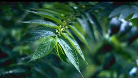 Regen-Monsun-Blatt stock video footage