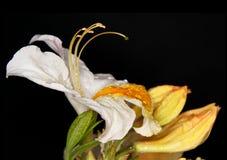 Regen op azalea's Royalty-vrije Stock Foto's