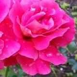 Regen op bloemblaadjes Stock Fotografie