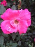 Regen op een bloem royalty-vrije stock foto