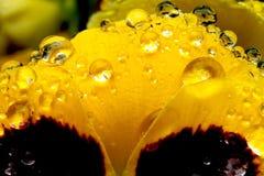 Regen op Pansy Flower royalty-vrije stock afbeelding