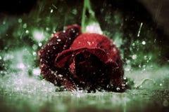 Regen Rose Stockfotos