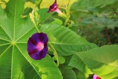 Regen tränkte purpurrote Windenblume gegen ein Rizinuspflanze-Blatt Stockfotos