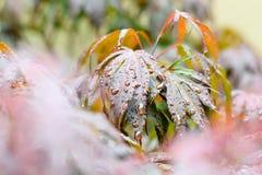 Regen-Tropfen auf Ahornblättern Stockbilder