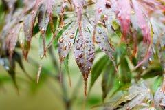 Regen-Tropfen auf Ahornblättern Lizenzfreie Stockfotografie