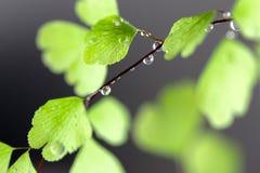 Regen-Tropfen auf Farn Stockfoto