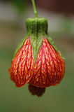 Regen-Tropfen auf roter Blume Stockfotos