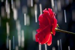 Regen-Tropfen Rose Lizenzfreies Stockfoto