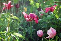Regen und bunte Tulpen im Garten stockbilder