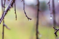 Regenachtig weer De lente regenachtige dag in de tuin Dalingen van water op de takken van trees_ stock afbeeldingen