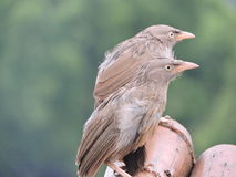 Regenachtige vogels Royalty-vrije Stock Afbeelding