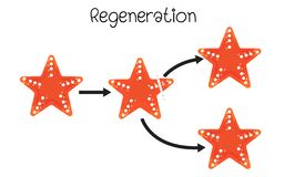 Regenaration in starfish vector illustration