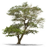 Regenbaum lokalisiert Lizenzfreies Stockfoto