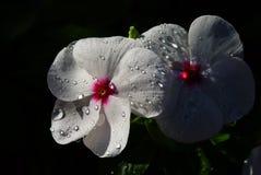 Regenblumen Stockbild