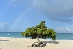 Regenbogen über dem Himmel hinter Divi Divi Tree Stockbilder