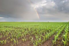 Regenbogen über Maisfeldern Stockbild