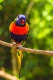 Regenbogen-Blausittich stockfoto