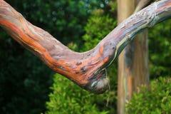 Regenbogen Ecalyptus-Niederlassung stockfotos