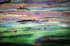 Regenbogen-Eukalyptus Stockfoto