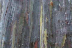 Regenbogen-Eukalyptus-Baum lizenzfreie stockbilder