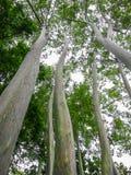 Regenbogen-Eukalyptus der bunteste Baum in der Welt Lizenzfreies Stockfoto