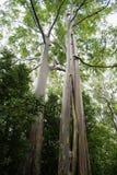 Regenbogen-Eukalyptus in Hawaii lizenzfreie stockfotografie