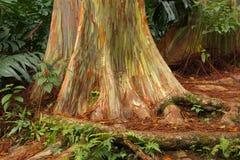 Regenbogen-Eukalyptus, Maui lizenzfreies stockfoto