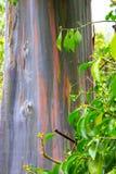 Regenbogen-Eukalyptusbaum Lizenzfreies Stockfoto