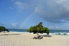 Regenbogen hinter ikonenhaften Divi Divi Tree in Aruba Lizenzfreies Stockbild