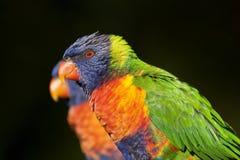 Regenbogen lorikeet Lizenzfreie Stockfotos