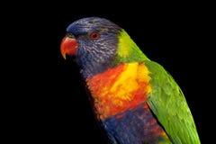 Regenbogen lorikeet Stockfotografie