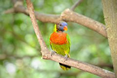 Regenbogen Lorikeet Stockfotos