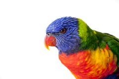 Regenbogen Lorikeet, australischer Papagei, lokalisiert auf Weiß Lizenzfreies Stockfoto