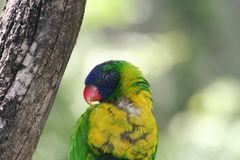 Regenbogen Lorikeet, das auf dem Baum schläft Lizenzfreie Stockfotografie