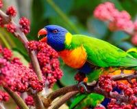 Regenbogen lorikeet, das Beeren isst Stockbild