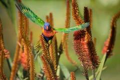 Regenbogen Lorikeet, das weg von den Aloe-Blumen fliegt Stockfotografie