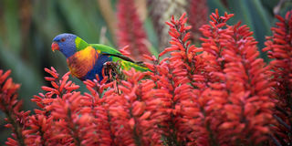 Regenbogen Lorikeet in den roten Aloe-Blumen Stockbilder