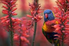 Regenbogen Lorikeet in den roten Aloe-Blumen Lizenzfreies Stockbild