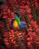 Regenbogen Lorikeet in den roten Aloe-Frühlings-Blumen Stockfoto