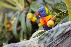 Regenbogen Lorikeet mit der Vogel-Filetarbeit, die Loquat-Frucht isst Lizenzfreie Stockfotografie