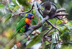 Regenbogen Lorikeet-Papagei Lizenzfreies Stockfoto