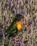 Regenbogen Lorikeet und Lavendel Stockfoto
